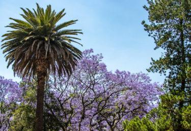 メキシコの桜(!?)ハカランダでお花見🌸