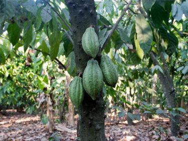 カカオはメキシコ原産?チョコレートのルーツを探る